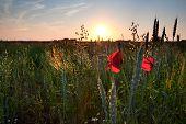 Poppy Flowers, Wheat On Field