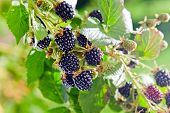 picture of blackberries  - ripe blackberry on a branch in garden