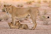 Lioness And Cubs Play In The Kalahari On Sand
