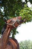 picture of breed horse  - Bay latvian breed horse eating green tree leaves