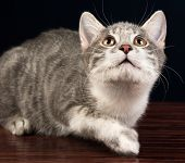 Young Silver Tabby Kitten Cat Looking Up
