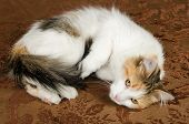 Cute Young Calico Torbie Kitten Cat