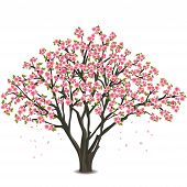Japanese Cherry Tree Blossom Over White
