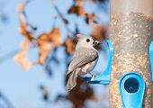 Tufted titmouse, Baeolophus bicolor, with a sunflower seed in his beak at a bird feeder in winter