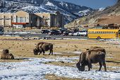 Wild Buffalo In The City Of Gardiner