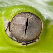 Close-up Of Giant Leaf Frog Eye, Phyllomedusa Bicolor