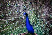 picture of indian peafowl  - Close of a male Indian peafowl peacock displaying in attempt to attract a mate - JPG