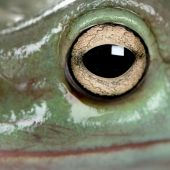 Close-up Of Australian Green Tree Frog, Litoria Caerulea