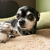stock photo of applehead  - a cute chihuahua laying on a pet bed with a stuffed toy - JPG