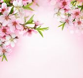stock photo of stamen  - Peach flower blossom on pink background - JPG