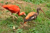 Scarlet ibis on green grass