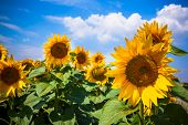 Sunflowers Field. Bright Blue Sky