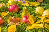 The Apples On The Green Grass Among The Autumn Leaves