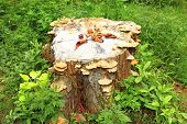 Old stump with mushrooms in green grass