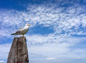 Seagull On The Wooden Pillar