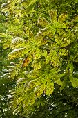 Conker Tree Leaves