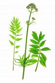Valerian (Valeriana officinalis)