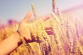 Child's hand holding wheat