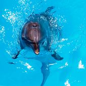 image of oceanography  - dolphins swim in the clear blue water of the pool closeup - JPG