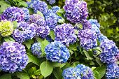 picture of hydrangea  - Blue hydrangea flowers on the bush in the flower garden - JPG