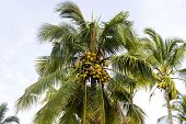 A coconut palm tree with bunch of hanging coconut fruits