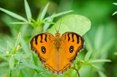 picture of butterfly-bush  - Peacock pansy butterfly  - JPG