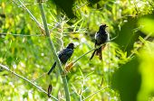 Greater Racket-tailed Drongo (dicrurus Paradiseus )