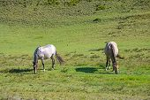 Horses in a field eating grass and relaxing