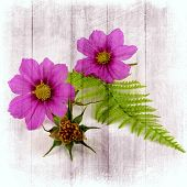 cosmea with whisk
