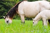 pic of mare foal  - Close up white horse mare and foal grazing in a field of grass Thailand