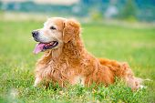 beautiful dog breed golden retriever lying in the grass