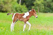Horse Foal Walking In Green Grass.
