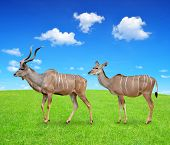 stock photo of greater  - greater kudu - JPG