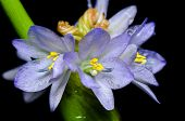 Purple Flowers Of Monochoria Hastata (l.) Solms