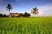 stock photo of malay  - Image of traditional malay village house in paddy field in Sekinchan - JPG