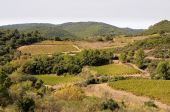 View of the small vineyard of the Herault region in the South of France