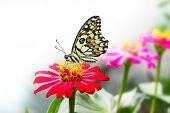 Lime Butterfly On Red Zinnia Flower