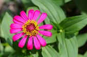 Close Up Top View Of Pink Zinnia Flower