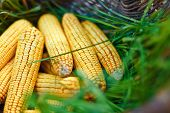 Close-up Of Basket With Ripe Sweetcorn