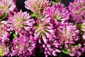 background of group of pink clover macro