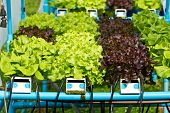 Hydroponics Green Vegetable