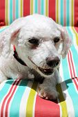 A Bichon Frise smiles as she sits on a colorful striped lounge chair. Elbe was a Rescue Dog that was
