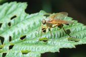 Predatory Snipe-fly (rhagio Scolopaceus)