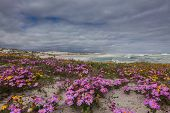 Purple flowers on the dunes on the west coast