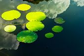Waterlily leaves on lake