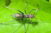 Ant-mimic Cricket
