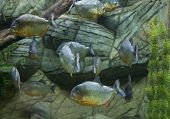 foto of piranha  - Many tropical fishes Piranha under water in aquarium.