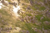 Lavender In Early Morning Sun