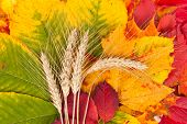 Wheat On Autumn Leaves