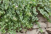 Caper Plant On The Wall